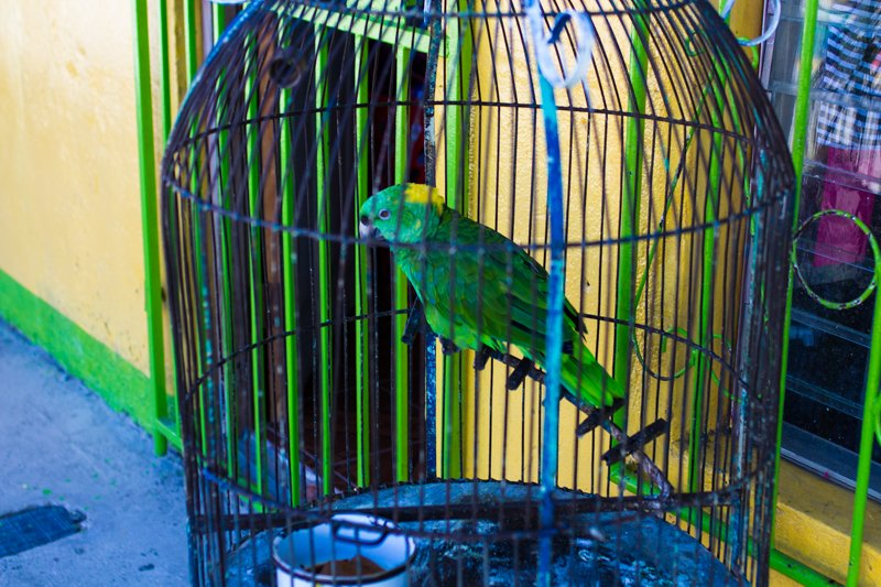 Parrot in San Juan Del Sur