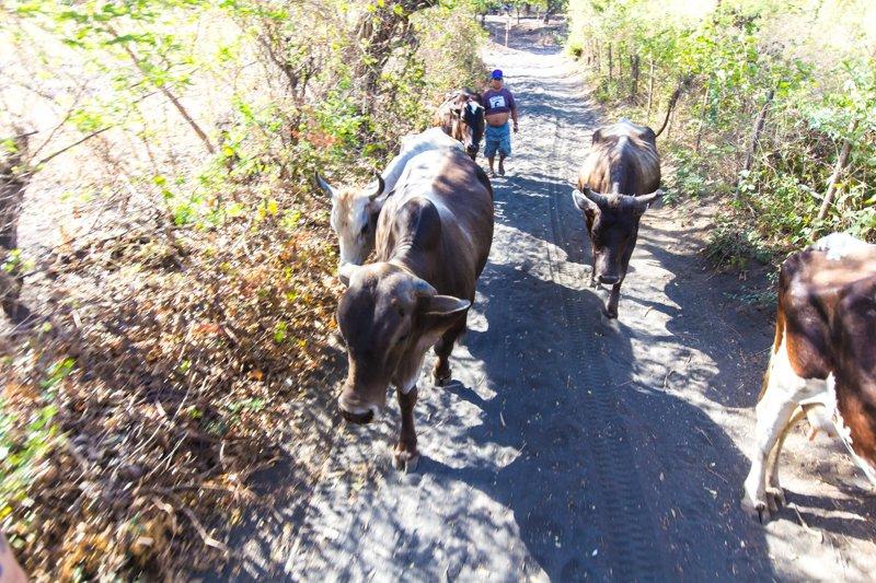 Cows Outside Of Leon, Nicaragua
